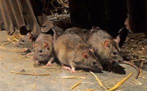 Trappes : les rats sont entrés dans la ville