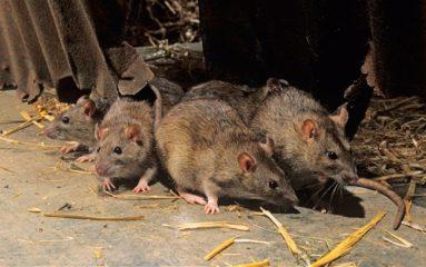 Trappes: les rats sont entrés dans la ville