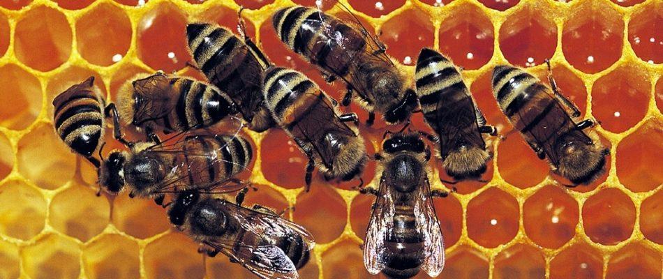 Nos abeilles ont du talent : protégeons-les !