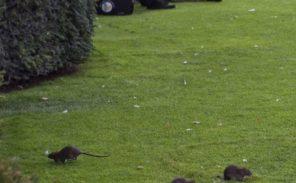 Les rats ont envahi le champ de Mars