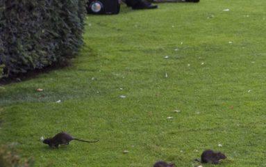 Sale temps pour les rats à Paris!