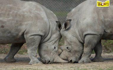 Braconnage: même dans les Zoos franciliens maintenant!
