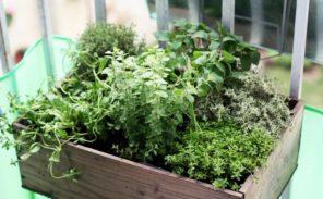 Chronique Nature: les herbes aromatiques maison