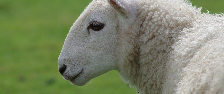 Eco-paturâge de Bondy: une brebis laissée pour morte par des agresseurs