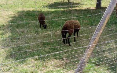 Moutons du périphérique: l'appel de la fondation Brigitte Bardot