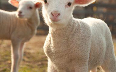 Création d'une association des bergers d'Ile-de-France