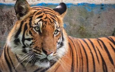 Un tigre abattu dans Paris