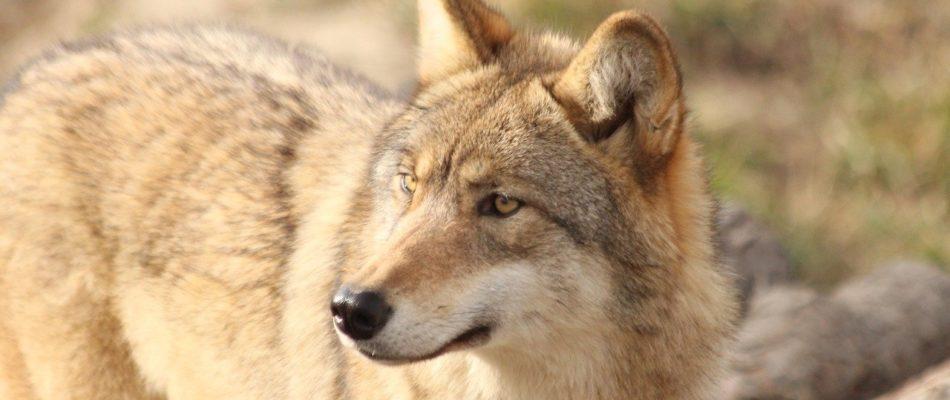 Les loups se rapprochent de Paris…